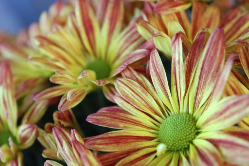 flowers bouquet mums
