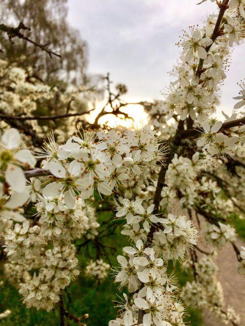flowers spring weissdorn