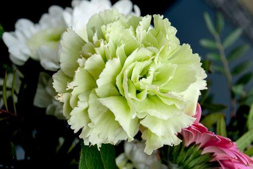 flowers carnation flower