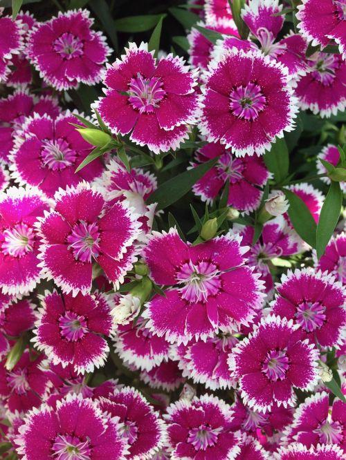 flowers dianthus garden