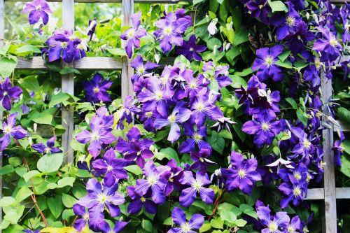gėlės,Clematis,sodinti sodą,violetinės gėlės,sodas,vasara,gamta