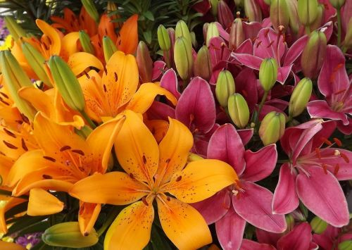 flowers lilies orange