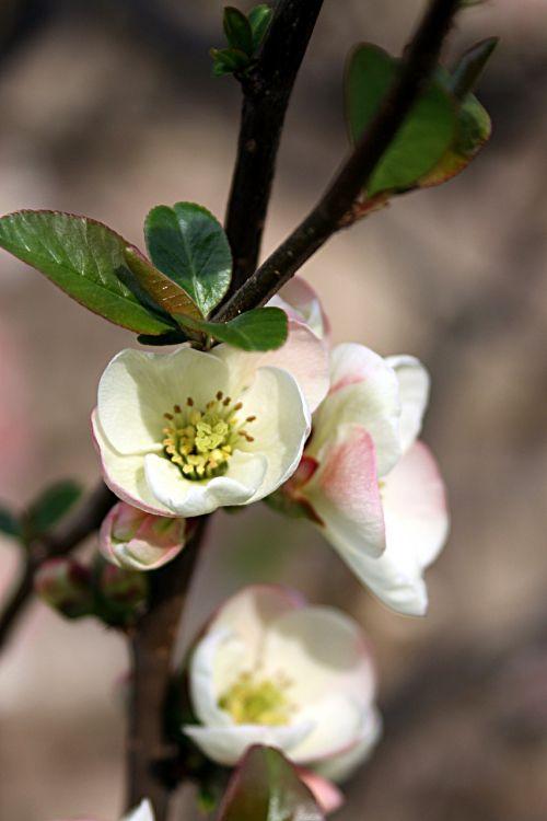 flowers flowering tree spring