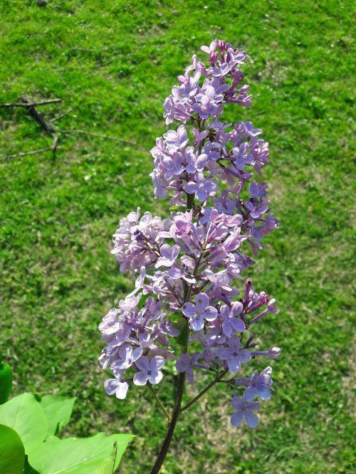 gėlės,pavasaris,žalias,gražus,gamta,graži nuotrauka,nuostabi gėlė