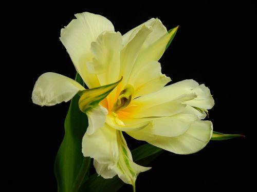 gėlės,žydėti,gėlė,augalas,pavasaris,lenz,tulpė,papūga tulpė