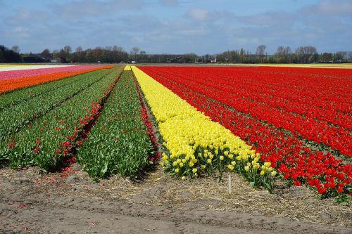 flowers tulips tulip field