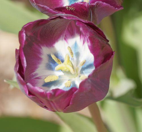 flowers tulip tulip spring