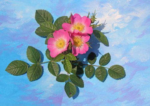 flowers wild rose plant