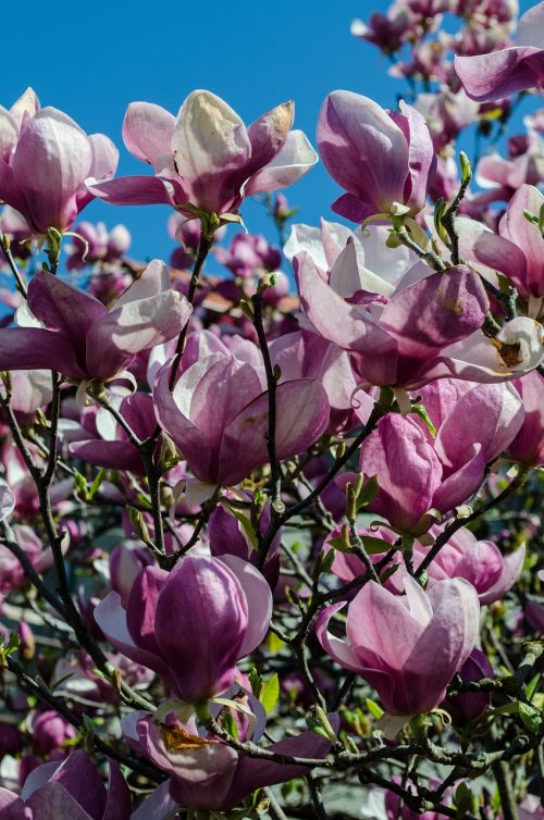 flowers tree magnolia