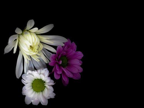 flowers daisy mixed