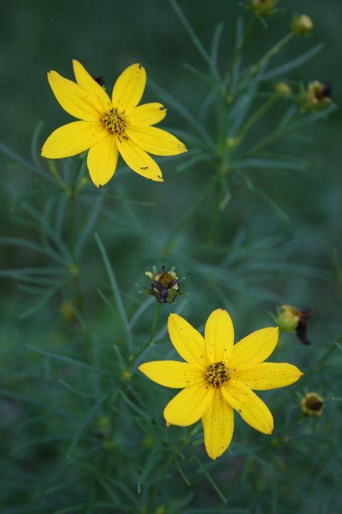 gėlės,laukinės vasaros spalvos,geltona,pavasaris,laukiniai,vasara,gėlių,pieva,žiedlapis,gamta,žydi,žiedas,pavasario gėlė,žydėti,sodas,botanikos,laukinės gėlės,natūralus,laukinė gėlė,augalas