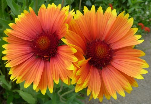 flowers,yellow,pair,twin,bloom,macro,orange