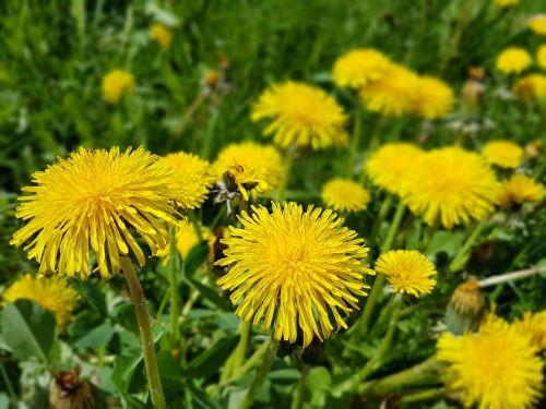 flowers spring sonchus oleraceus