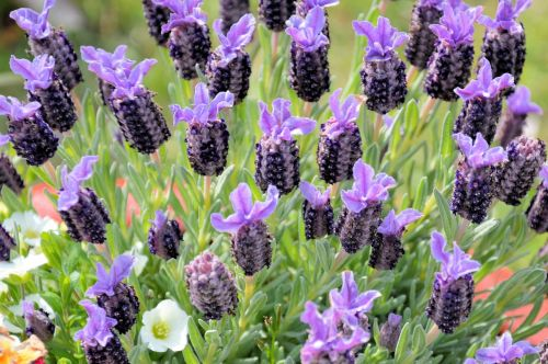 flowers lavender fragrance