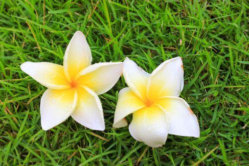 flowers frangipani flowers flower