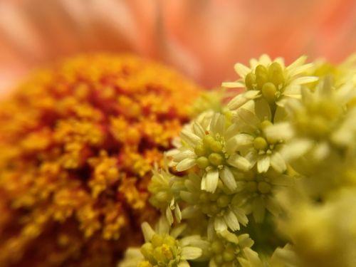 gėlės,oranžinė,gėlės izoliuoti,žiedas,žydėti,geltona,makro,žydi,oranžinė gėlė