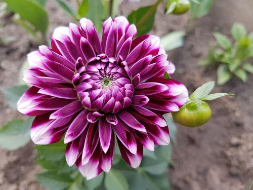flowers spring dalia