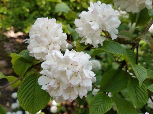 flowers spring viburnum