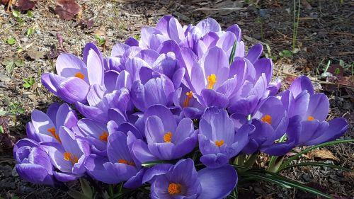 gėlės,pavasario gėlės,violetinė,mūsų ženklai,pavasario gėlė,lökväxt,pavasaris,bulviniai augalai