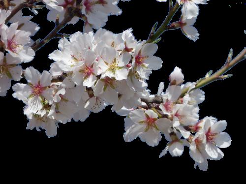 flowers almond tree flowering