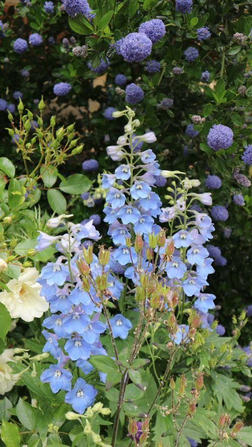 gėlės,mėlynas,Anglija