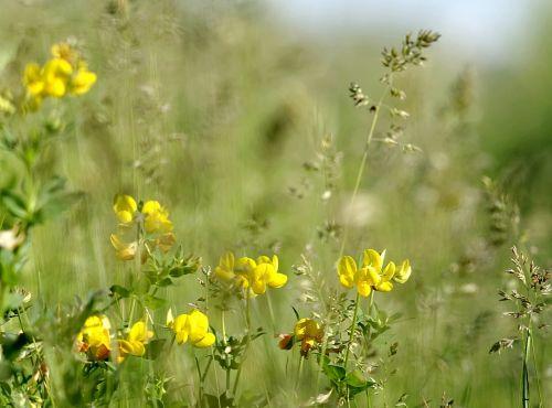 flowers minor meadow