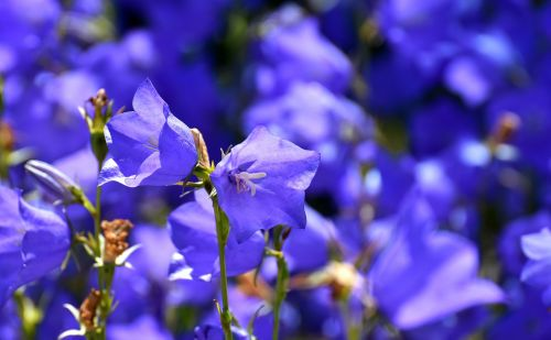 flowers summer blue