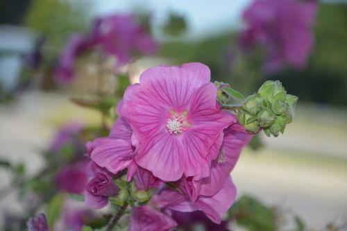 gėlės,rožinis,gamta,sodas,jardiniere,žiedlapiai,vabzdys