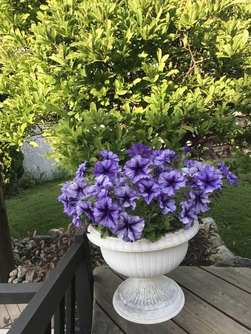 flowers lila purple