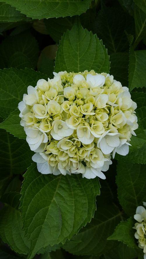 flowers hydrangea natural