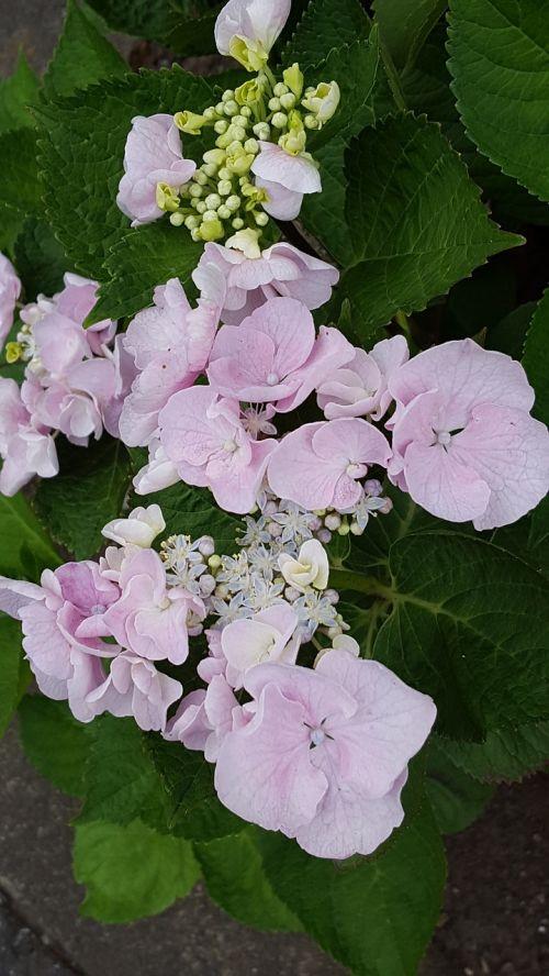 flowers hydrangea pink