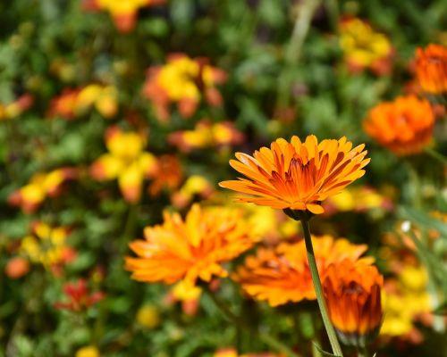 flowers sun flower plant