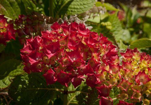 flowers hydrangeas garden