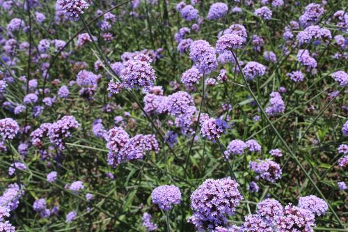 flowers verbena purple