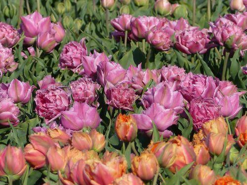 flowers bulb fields netherlands