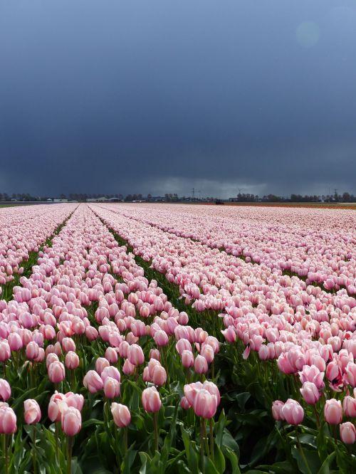 flowers tulips nature
