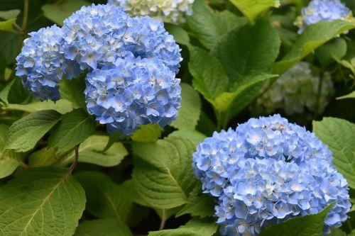 flowers flower hydrangea