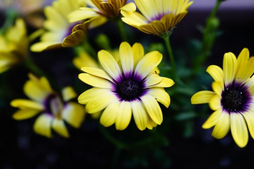 flowers daisy the see super maximum