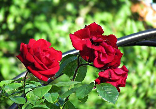 flowers roses leaving