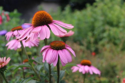 flowers violet summer