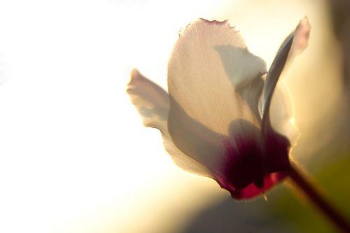 flowers cyclamen flower