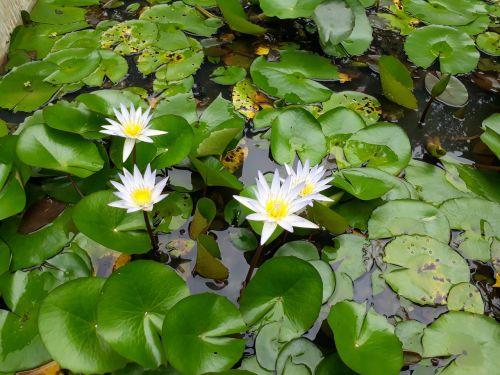 flowers lotus flowers looms