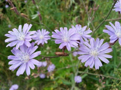 flowers chicory purple
