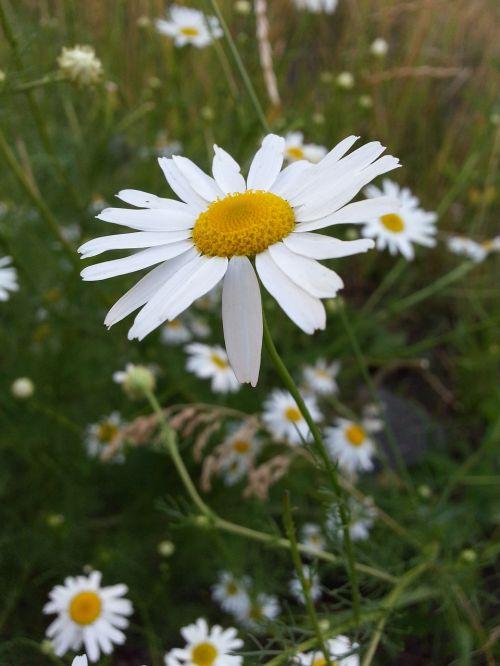 flowers chamomile white