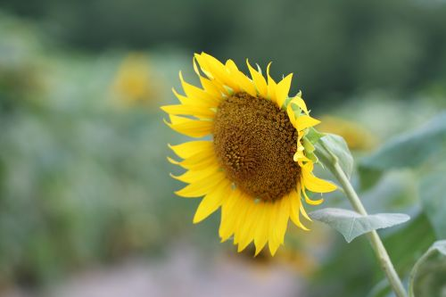 flowers,sunflower,yellow,plants,sunflower flower,yellow flower