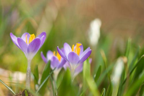 flowers crocus spring