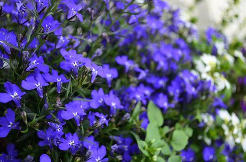 flowers blue blue flowers