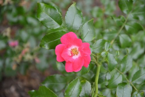flowers pink petals