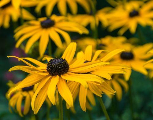 flowers plant black-eyed rudbeckie