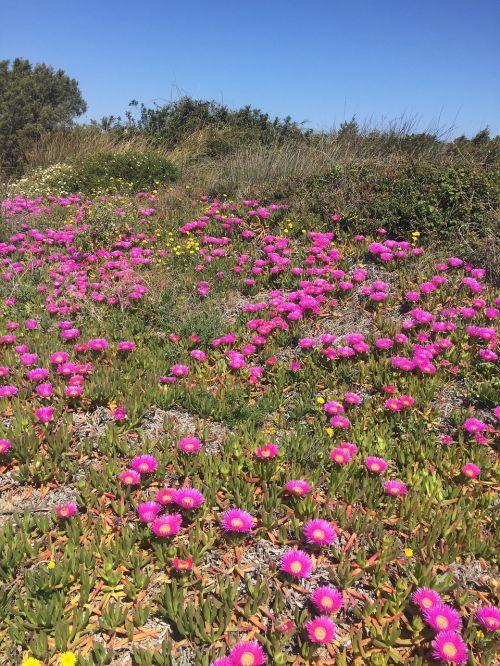 flowers sea sardinia
